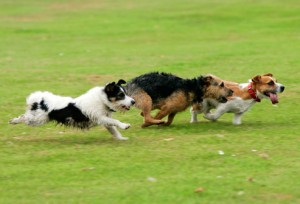 getty_rm_photo_of_dogs_running_in_park